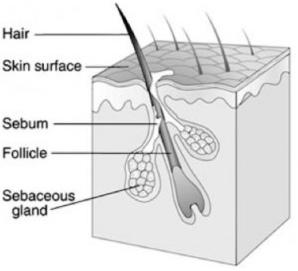 Jerawat Anatomi Kulit